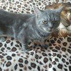 Красивая британская кошка ищет кота