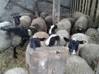 Увидеть фотографию  продаю овец романовской породы на племя 37398314 в Нижнем Ломове