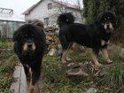 Просмотреть фотографию Вакансии продаю щенков тибетского мастифа от титулованных родителей 32373382 в Саратове