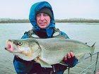 Фотография в   Продам мороженную рыбу северных рек. Муксун в Нижнем Новгороде 510