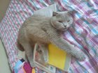 Фотография в  Отдам даром - приму в дар Отдам в добрые руки породистую кошечку-мягколапку, в Нижнем Новгороде 0
