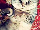 Увидеть фотографию Услуги для животных Вязка скоттиш-фолд 33601984 в Нижнем Новгороде