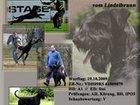 Фотография в Собаки и щенки Продажа собак, щенков Продаю щенков ризеншнауцера д. р. 15. 08. в Нижнем Новгороде 35000