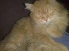 Фото в Кошки и котята Продажа кошек и котят куплю рыжего котика полуперса с класическим в Богородске 0