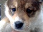 Фото в Собаки и щенки Продажа собак, щенков Продаю щенка (сучонка) - ЗСЛ от зверовых в Нижнем Новгороде 3000