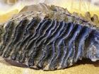 Увидеть foto  Продаю зуб мамонта, 34688847 в Нижнем Новгороде