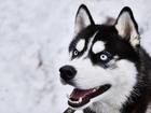 Изображение в Собаки и щенки Вязка собак Предлагается для вязки кобель породы Сибирский в Нижнем Новгороде 25000