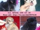 Фотография в Собаки и щенки Продажа собак, щенков ШПИЦА чистокровных и не чистокровных щеночков, в Нижнем Новгороде 8500