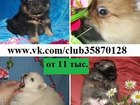Фото в Собаки и щенки Продажа собак, щенков В продаже чистокровные и не чистокровные в Нижнем Новгороде 11000