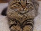 Фото в Кошки и котята Вязка Кошка Шотландская Хайленд-страйт возраст в Нижнем Новгороде 0