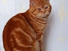 Изображение в Кошки и котята Вязка Шотландский красавец, зовут Бостон, приглашает в Нижнем Новгороде 2000