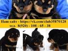 Фото в Собаки и щенки Продажа собак, щенков В продаже прекрасные чистокровные щеночки в Нижнем Новгороде 11000