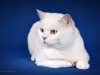 Фотография в Кошки и котята Вязка Титулован, отлично воспитан, полностью здоров. в Нижнем Новгороде 2000