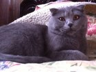 Фото в Кошки и котята Вязка Красивая, умная, породистая кошечка.   Возраст: в Нижнем Новгороде 0