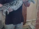 Фотография в Кошки и котята Вязка шотландский прямоухий кот 1. 3года мраморного в Богородске 0