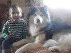 Новое фото Вязка собак голубоглазый хаски 38537181 в Нижнем Новгороде