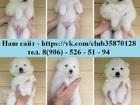 Изображение в Собаки и щенки Продажа собак, щенков Хороших щеночков самоедской лайки продаю! в Нижнем Новгороде 0
