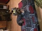 Увидеть foto Вязка собак Вязка Йокширский Терьер 39078600 в Нижнем Новгороде