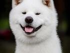 Фотография в Собаки и щенки Вязка собак Предлагается для вязки кобель акита ину белого в Нижнем Новгороде 0