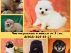 Фотки и картинки Померанский шпиц смотреть в Нижнем Новгороде