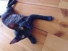Скачать фотографию Вязка кошек Для кошечки корниш-рекс ищу жениха, 68130108 в Нижнем Новгороде