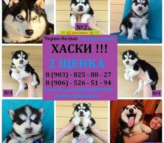 Фото в Собаки и щенки Продажа собак, щенков ХАСКИ черно-белых красивееенных щеночков в Нижнем Новгороде 0