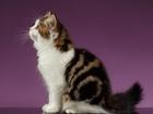 Изображение в Кошки и котята Вязка Шотландская кошечка приглашает на вязку опытного в Нижнем Тагиле 0