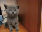 Фото в Кошки и котята Продажа кошек и котят Красивые, породистые шотландские котята. в Нижнем Тагиле 3000