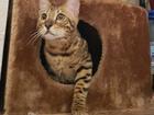 Скачать бесплатно foto Вязка Бенгальский кот приглашает на вязку 38592670 в Нижнем Тагиле