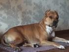 Изображение в Собаки и щенки Вязка собак Кобель АСТ 2. 9 года для вязки . Ногинск в Ногинске 8000