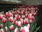 Скачать фото  Тюльпаны к 8 марта в Ногинске 38417040 в Ногинске