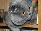 Вязка с шотландским котом, страйт, родословная