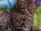 Фото в Отдам даром - Приму в дар Отдам даром Отдам молодого, 7 - месячного котика с хорошим в Новокузнецке 1