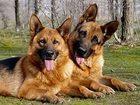 Изображение в Собаки и щенки Продажа собак, щенков Друзья! ! ! ! ! ! ! ! ! ! ! ! ! Может кому-то в Новороссийске 0