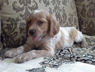 Собаки для охоты (Эпаньол бретон) Предлагаются щенки легавой Эпаньол бретон (сам