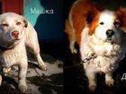 Изображение в   Отдаются 2 собачки. Сука, 3 года, стерилизованная, в Новосибирске 0