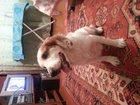 Фотография в Собаки и щенки Вязка собак Кобель русского спаниеля красивого шоколадно-белого в Новосибирске 3500