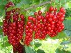 Уникальное изображение  Саженцы Красной смородины 33089483 в Новосибирске
