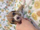 Изображение в Собаки и щенки Продажа собак, щенков Продам чистопородных щенков стаффордширского в Новосибирске 10000