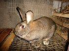 Уникальное изображение Другие животные Кролики с доставкой 33356459 в Новосибирске