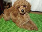 Фото в Собаки и щенки Продажа собак, щенков Питомник Из Созвездия Девы, г. Новосибирск в Новосибирске 20000