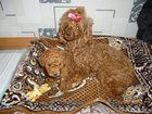 Фотография в   продам щенка той-пуделя. кобелек. родился в Новосибирске 15000
