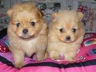 Фото в Собаки и щенки Продажа собак, щенков Предлагаются к продаже очаровательные щенки в Новосибирске 20000