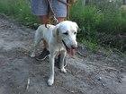 Фотография в Собаки и щенки Продажа собак, щенков отдам в добрые руки лабрадора, 1, 5 года в Новосибирске 0