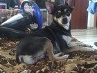 Изображение в Собаки и щенки Вязка собак Ищем жениха за щенка писать в личку возраст в Новосибирске 0