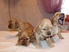 Фото в Собаки и щенки Продажа собак, щенков Три мальчика, одна девочка. Без родословной. в Бердске 6000
