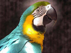 Изображение в   Отдам попугая матершинника. Предлагаю уже в Новосибирске 10