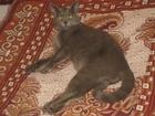 Фотография в Кошки и котята Вязка Кот породы наполовину британец с русской в Новосибирске 500