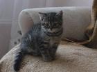 Фото в Кошки и котята Продажа кошек и котят Британская кошечка, 2. 5 мес. , к лотку приучена, в Новосибирске 1000