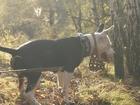 Фотография в Собаки и щенки Вязка собак Девочка-Дара. 3 года. Ищет кабеля для вя в Новосибирске 0